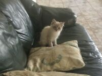 Male Ragdoll Kitten pure breed