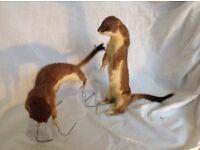 Stuffed stoats taxidermy