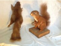 2 stuffed red squirrels taxidermy