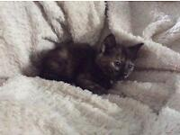 Beautiful little tortoiseshell female kitten - fully litter trained - flea & worm treated -