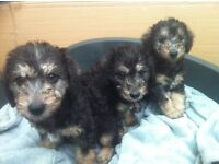Bedlington puppies for sale