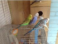 Lost male blue budgie.