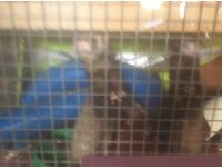 ferrets and cages