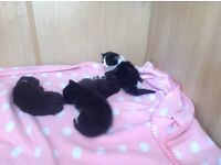 Ragdoll X kittens for sale only one male and one female left