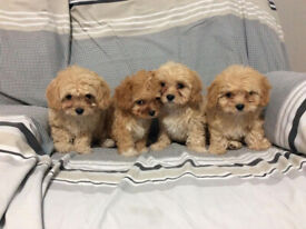 cavapoo puppies ( ruby king charles x toy poodle )