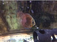 "4"" plus discus fish in tap water selling as shutting down my tank"