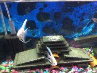 Tropical fish platinum pair Angel fish