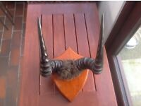 TROPHY HORNS OF SOUTH AFRICAN HARTEBEESTE MOUNTED ON SHIELD