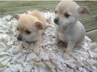 Male Chihuahua Puppies