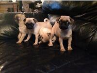 beautiful kc pug pups ready now