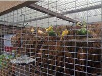 Canaries , various , job lot