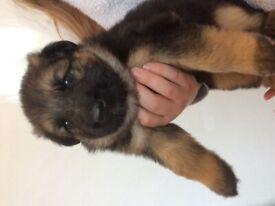 German shepherd pups kcreg
