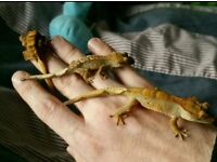 ***GORGEOUS CRESTED GECKO BABIES***