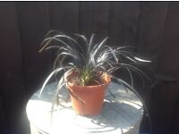 2 X Lovely small black ornamental grass potted ready
