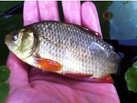 "3-5"" CRUCIAN CARP KOI GARDEN POND COMMON MIRROR"