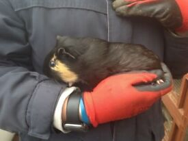 Male Guinea Pigs for sale, various colours and ages.