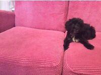 Cockerpoo puppy's for sale