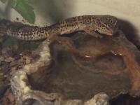Leopard gecko with terrarium