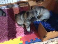 Lovely Keeshond puppies affectionate KC registered