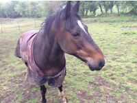 Retired 19 yr old companion pony for sale- good home required