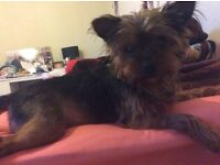 2 years old girl Kiri Yorkshire terrier