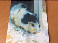 PEANUT, missing Guinea pig from Kilmacolm