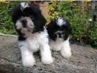 Beautiful tiny half imperial imperial Shih Tzu puppy's 2 boys 4 girls DL registered