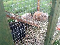 2 guinea pigs with run