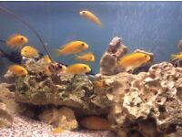 MIxed African Malawi cichlids for sale, babies up to 2 and half inch long