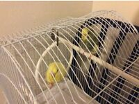 For Sale baby budgies with cage