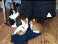 Kittens 2 x male (ginger ones) 1x female (black/white)