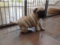 Gorgeous, kc registered, fawn pug puppies