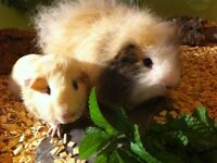 TWO BONDED MALE GUINEA PIGS PLUS HUTCH AND FEED