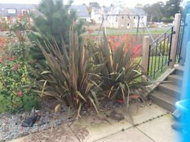 Two phormium for sale