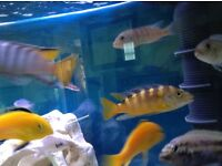 1 bumblebee cichlid 5in 1 male Aratus cichlid for sale