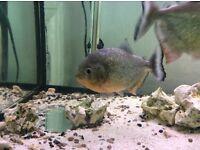 4 piranha for sale!!!!