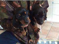 Miniature smooth haired dachound puppies