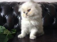 SUPER CUTE, LILAC COLOURPOINT PERSIAN MALE KITTEN (READY NOW)
