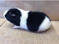 Teddy Guinea pig boar .