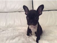 KC French Bulldog puppies 1 girl 2 boys left ready now vet checked vaccinated wormed top quality