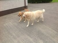 Golden Retriever Adult MALE dog available