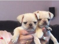 Ready now K.C registered white pug puppies