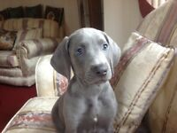 Weimaraner pups Full KC registered Blues available - fantastic quality and pedigree!