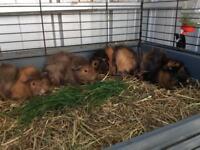 Funky guinea pig girls