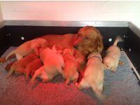 Labrador pups sired by International Champion Beileys Aguzzanis of Fendawood