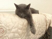 LOST dark grey cat. Microchipped. Kempsey Worcester worcestershire