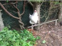 Chicken - white Sussex, free to a good home