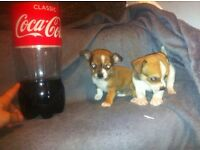 lovely smooth coat chihuahua puppies. £390 ono