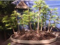 Charming Bonsai Larch Group