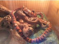 Corn snake, vivarium and contents for sale